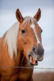 Laughing Palomino horse Stock Image