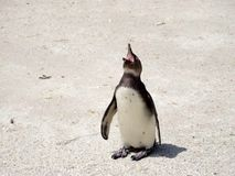 Laughing Penguins Royalty Free Stock Photo