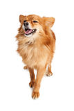 Laughing Pomeranian Crossbreed Dog Royalty Free Stock Images