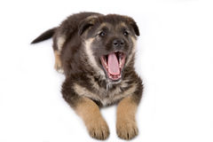 Laughing puppy Stock Images