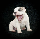 Laughing Puppy Stock Image