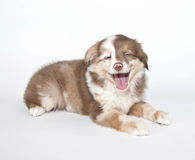 Laughing Puppy Stock Photos