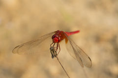 Laughing Red Dragonfly Stock Photography