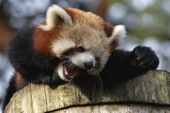 Laughing Red Panda Stock Photography