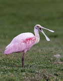 Laughing Roseate Spoonbill Royalty Free Stock Photography