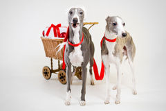 Laughing santa whippets with christmas cart Royalty Free Stock Images