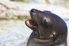 Laughing Sea Lion. A sea lion looking like it's laughing Royalty Free Stock Image