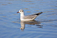 Laughing seagull. In the water Royalty Free Stock Photo