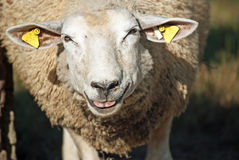 Laughing sheep Stock Photography