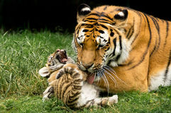 Laughing sweet little Amur Tiger Royalty Free Stock Photography