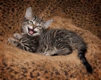 Laughing Tabby kitten Royalty Free Stock Photo
