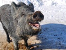 Laughing wild boar Royalty Free Stock Photos