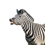 Laughing zebra. Isolated against white background; equus burchell's Royalty Free Stock Photos