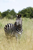 The Laughing Zebra. Burchell's Zebra stallion scenting the air Stock Photo