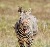 Laughing Zebra Stock Image