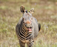 Laughing Zebra Stock Photography