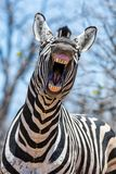 Laughing Zebra. A closeup of a Zebra that looks as if he is laughing royalty free stock photos
