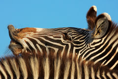 Laughing zebra portrait Royalty Free Stock Photo