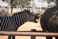 Laughing zebra royalty free stock photo