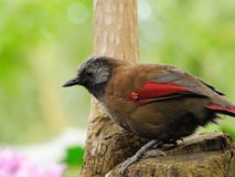 Laughingthrush à ailes rouges Photographie stock libre de droits
