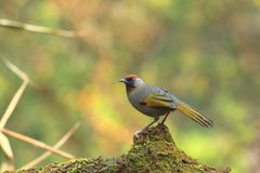 Laughingthrush Argento-eared fotografia stock