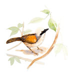 Laughingthrush Blanco-con cresta Libre Illustration