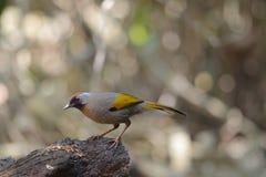 Laughingthrush Plata-espigado, pájaro y se calienta, alimentando el pájaro fotos de archivo