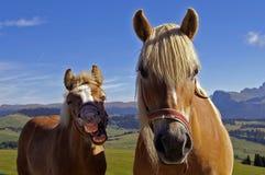 Laught van een paard Stock Afbeeldingen