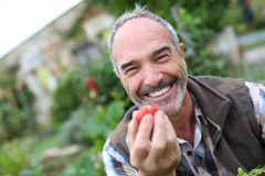 Lauging mature man picking up tomatoes Stock Photo