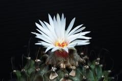 lauiturbinicarpus Royaltyfri Foto