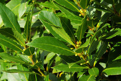 Laurel. Leaves on the plant, spice Royalty Free Stock Photos