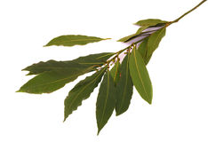 Laurel. Branch on a white background.Soft shadow Royalty Free Stock Image