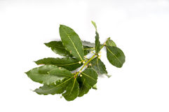 Laurel. Sprig of laurel Goggi with water on a white background Royalty Free Stock Photo