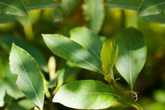 Laurel. Tree green leaves closeup royalty free stock photography