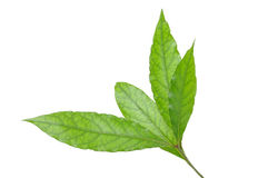 Laurel. Leaves on white background royalty free stock photos