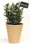 Laurel. Bush in a flowerpot with label royalty free stock images