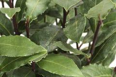 Laurel. Closeup of green laurel leaves on a laurel bush Stock Images