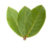 Laurel Bay leaves. The Bay Laurel (Laurus nobilis, Lauraceae), also known as True Laurel, Sweet Bay, Grecian Laurel, Laurel, or Bay Tree, is an aromatic royalty free stock photography