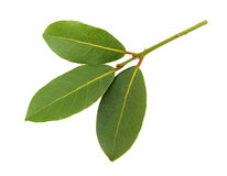 Laurel Bay three leaves stock images