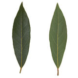 Laurel Bay tree leaf isolated Royalty Free Stock Photos