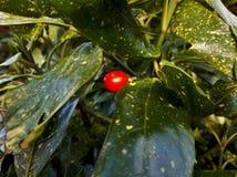 Laurel Berry macchiato in foglie verdi Fotografia Stock