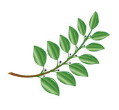 Laurel-branch. Stock Images