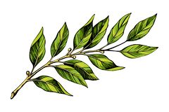 Laurel branch color sketch. Vector illustration. Hand drawn laurel leaves isolated on white background. Culinary herbs vector illustration