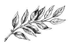 Laurel branch sketch vector stock images