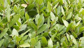 Laurel bush hedge growing Royalty Free Stock Photos