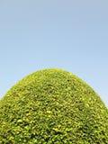 Laurel Bush Hedge verde contra o céu azul imagens de stock