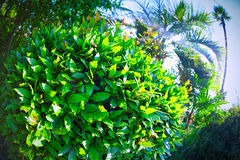 Laurel bush on the south coast of the fisheye lens  a bright summer sun.  green Stock Image
