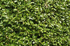 Laurel bush Stock Image