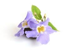 Laurel clock vine, Blue trumpet vine flowers. Royalty Free Stock Photography