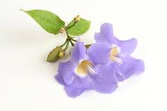 Laurel clock vine, Blue trumpet vine flowers. Royalty Free Stock Photos